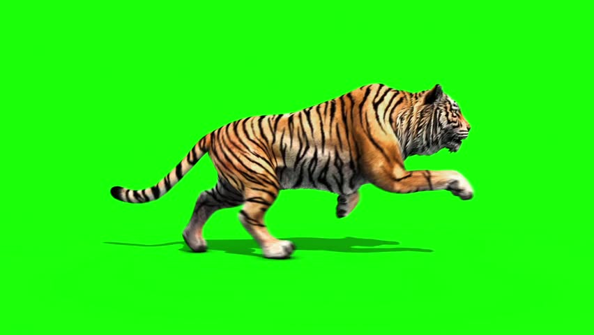 Tiger Run Animals Loop Green Screen 3D Rendering Animation