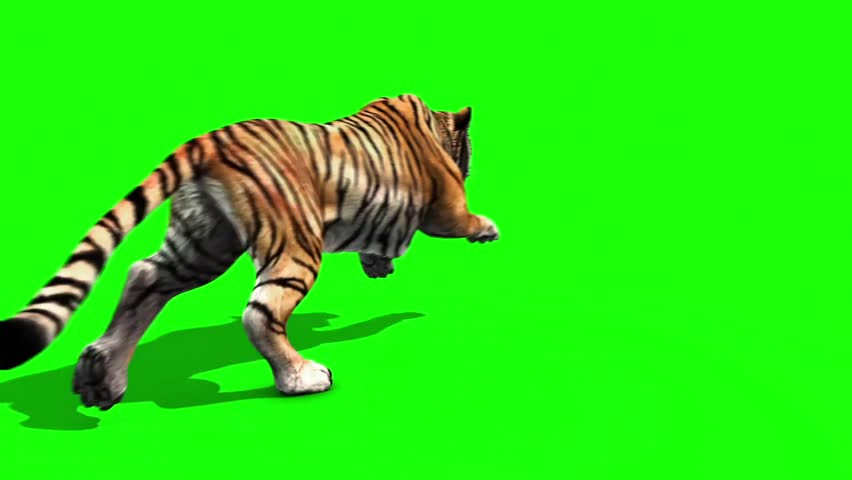 Tiger Run Animals Back Green Screen 3D Rendering Animation