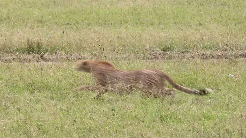 A Cheetah (Acinonyx jubatus) gives chase and successfully kills its prey--a Thomson's Gazelle--in the Masai Mara, Kenya, Africa. #2464016