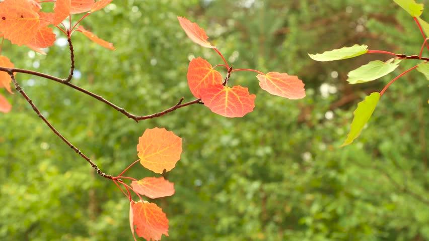 Leaves of aspen on the wind | Shutterstock HD Video #24656126