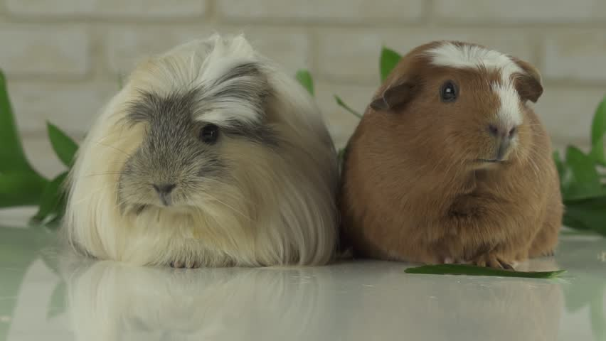 Two guinea pigs talk as the announcers on television humor stock footage video | Shutterstock HD Video #24676868