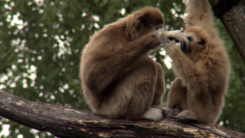 Two Lar Gibbons (Hylobates lar) playing on branch | Shutterstock HD Video #2467865