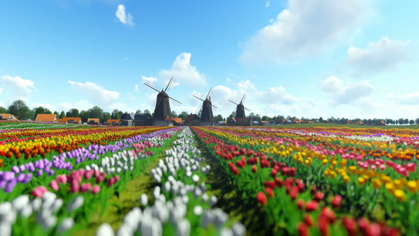 Traditional Dutch windmills with vibrant tulips in the foreground over blue sky, panning Royalty-Free Stock Footage #24692708