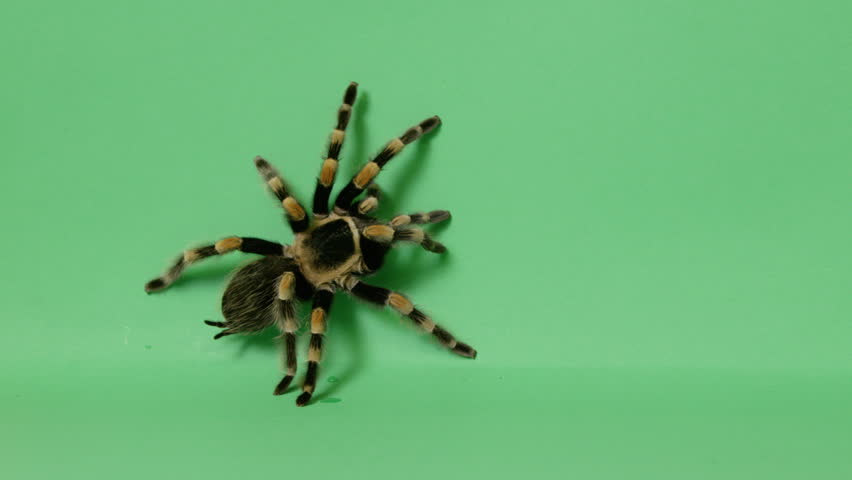 Black and yellow tarantula spider crawling on green screen 3   Shutterstock HD Video #24696164