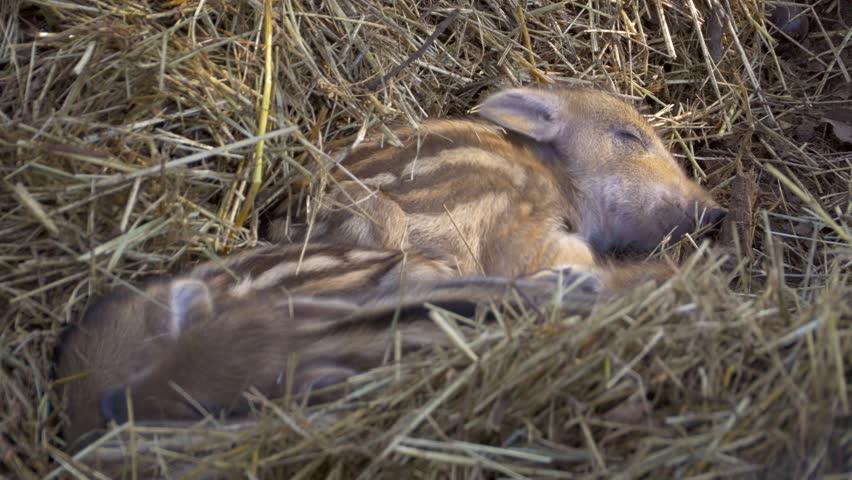 Wild boar piglets (Sus scrofa) | Shutterstock HD Video #24702509