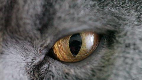 Close-up Of Cat's Orange Eye. British Cat