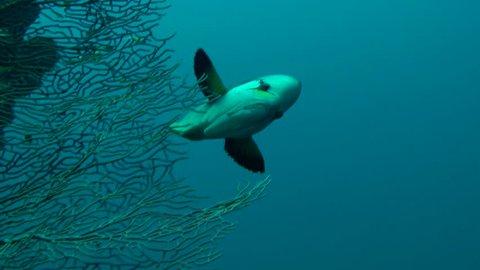 Sling-jaw wrasse (Epibulus insidiator) swims on the background of a gorgonian coral, medium shot.