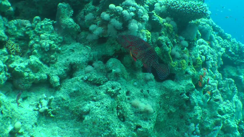 Coral Grouper (Cephalopholis miniata) swims on a background of corals, wide shot. #24719729