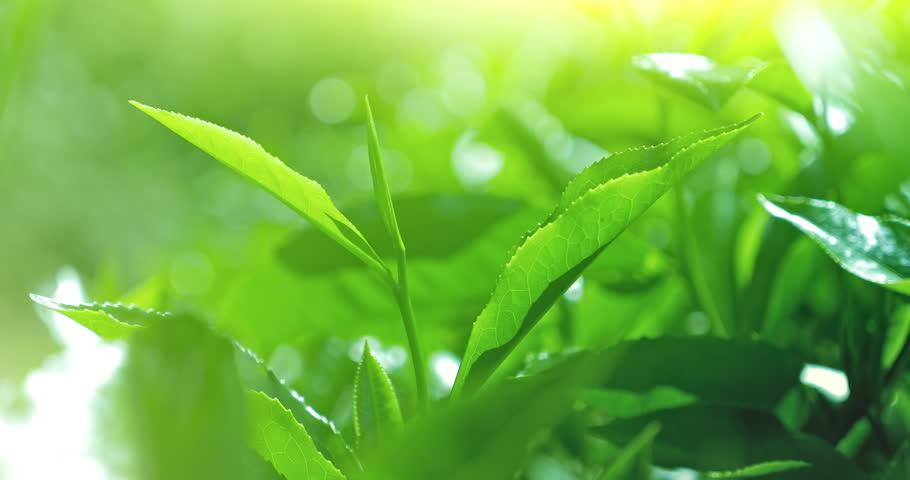Fresh Green Tea Leaves On Arkivvideomateriale 100 Royaltyfritt 24743141 Shutterstock