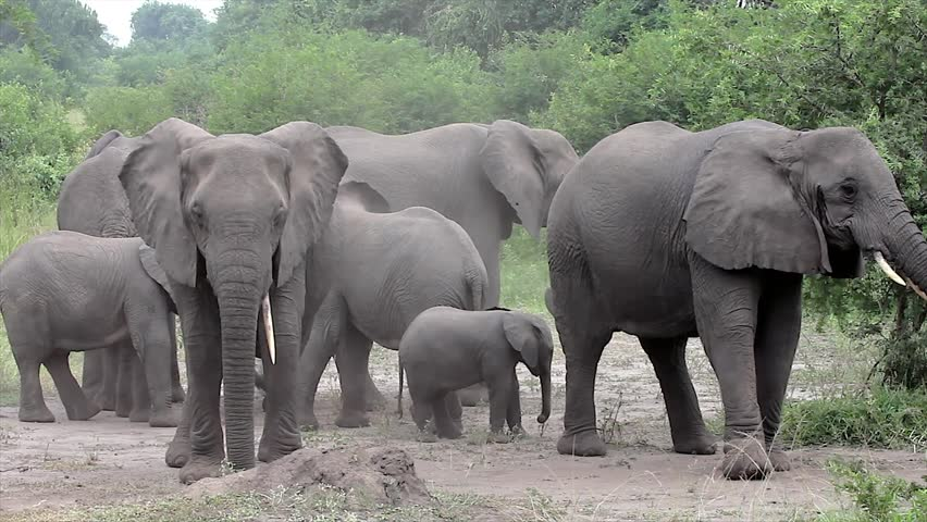 A WILD African Elephant Family (and Baby!) camouflages by throwing dirt on themselves with trunks in Queen Elizabeth National Park Uganda, Africa. This behavior may relate to scent & social cues. Royalty-Free Stock Footage #2478185