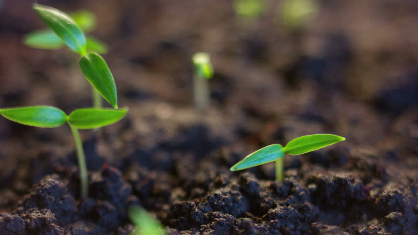 Growing Plants spring Time Lapse Growth Concept, Animated Green Sun Rays, Alien Planet Sunrise Germination Seeds #24783296
