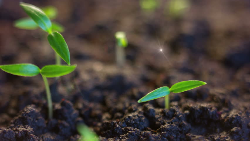 Germination Plants Growing Seeds Sprout Grow, Growth Concept, Animated Sun Rays, Spring Sunrise With Rotating Young Peppers #24783299