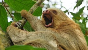 sloth yawning sleeping on a branch costa rica
