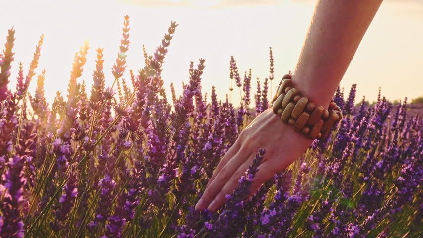 Close-up of woman's hand running through lavender field. Stabilized shot SLOW MOTION 120 fps. Girl's hand touching purple lavender flowers. Plateau du Valensole, Provence, South France, Europe. | Shutterstock HD Video #24817910