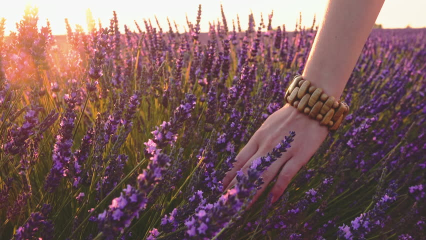 Close-up of woman's hand running through sunny lavender field. Lens flare. SLOW MOTION 120 fps. Girl's hand touching purple lavender flowers. Plateau du Valensole, Provence, South France, Europe. | Shutterstock HD Video #24817934