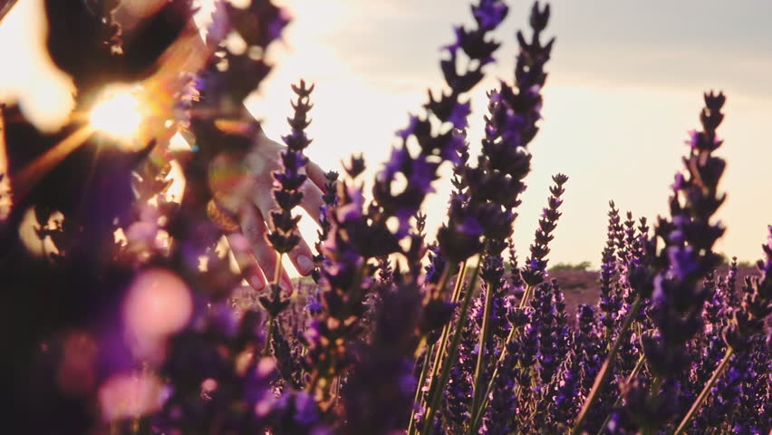 Close-up of woman's hand running through lavender field. Stabilized shot SLOW MOTION 120 fps. Girl's hand touching purple lavender flowers. Plateau du Valensole, Provence, South France, Europe.   Shutterstock HD Video #24817949