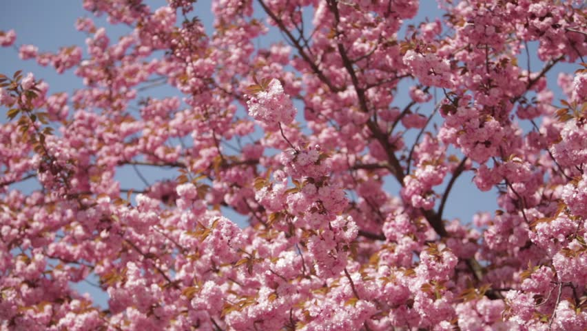 Japanese Flowering Cherry Tree Pink Stock Footage Video 100