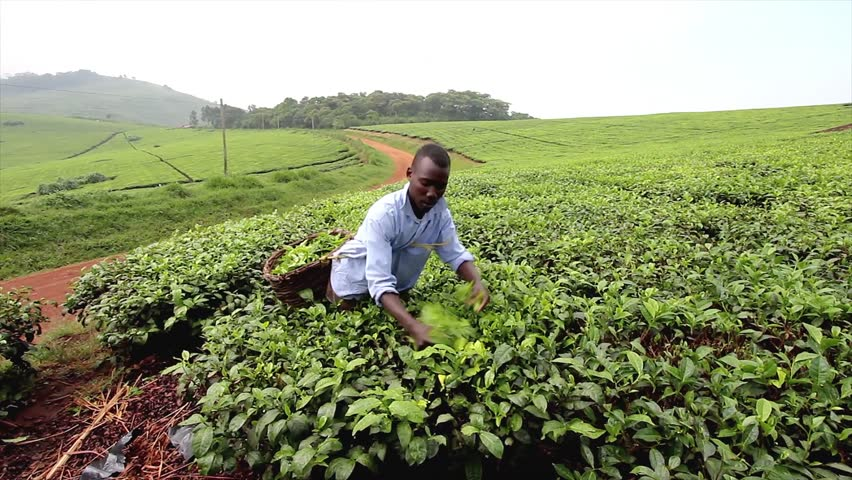 UGANDA, AFRICA - JUNE 13: Ugandan Man Works for Pennies a Day and Picks Tea from Bushes for Export to Other Countries on June 13, 2012 in Uganda, Africa.