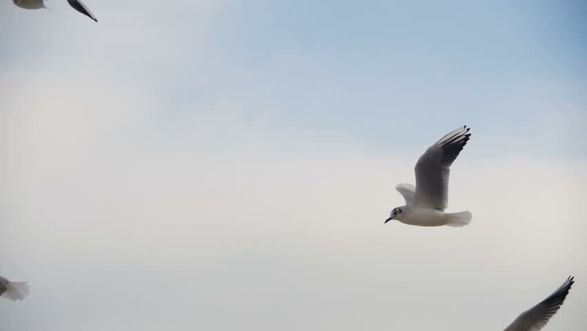 Seagulls Flying in the Air and Catch Food on Blue Sky Background. Slow Motion in 96 fps. Close-up. Many hungry gulls fly in the air and catch pieces of bread. | Shutterstock HD Video #24900068
