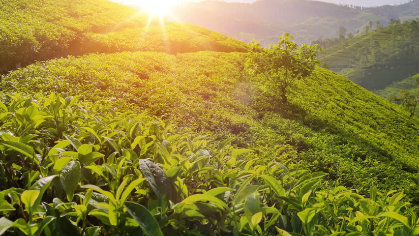 Majestic view of sun light shines on tea plant leaves. Nuwara Eliya plantation fields on hill slopes. Beautiful Sri Lanka nature landscapes