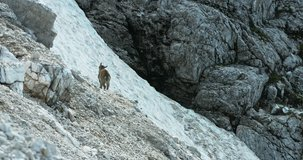 Female Capra are guiding their fawns through the steepest rock walls. The Alps, Summer 2016, Blackmagic Cinema camera 4K, Stock Footage, photo,  4K, Raw,