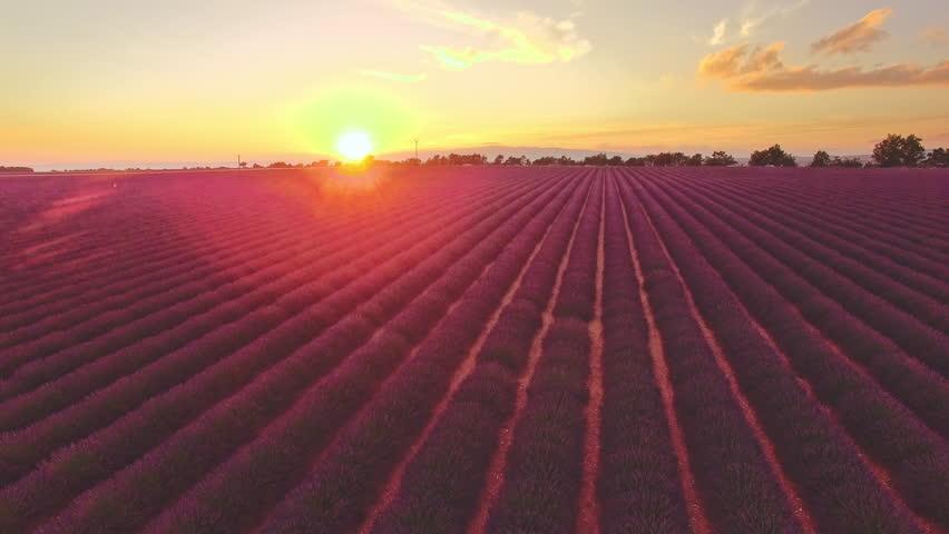 AERIAL 4K: Flight over Lavender Field. Sunset or sunrise aerial landscape of endless sunlit lavender fields. Plateau du Valensole, Provence, South France, Europe. Tranquil cinematic view. Lense Flare   Shutterstock HD Video #25012217