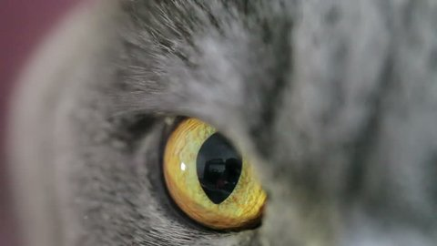 Close-up Of An Evil Cat's Eye And Nose. British Cat.