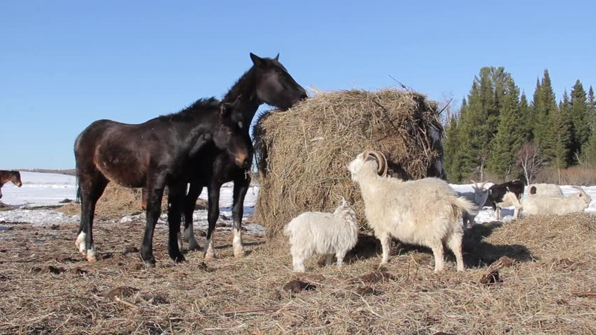 Pets at a winter farm eating hay in Russia | Shutterstock HD Video #25035500