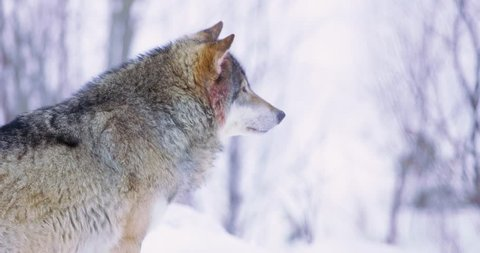 Male wolf in profile standing on a ledge