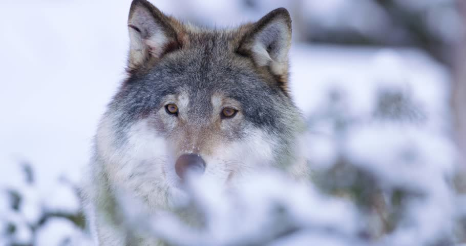 Portrait of curious wolf in winterscape