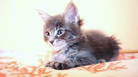 Cute blue tabby color Maine coon kitten licks paw. 1920x1080. hd