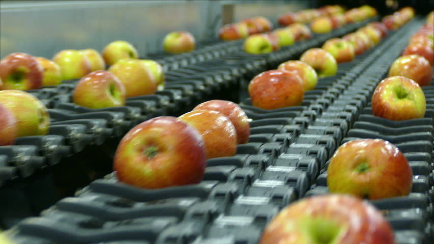 Apple grading machine, apples sorted by the machine fall down on conveyor in a fruit packing warehouse