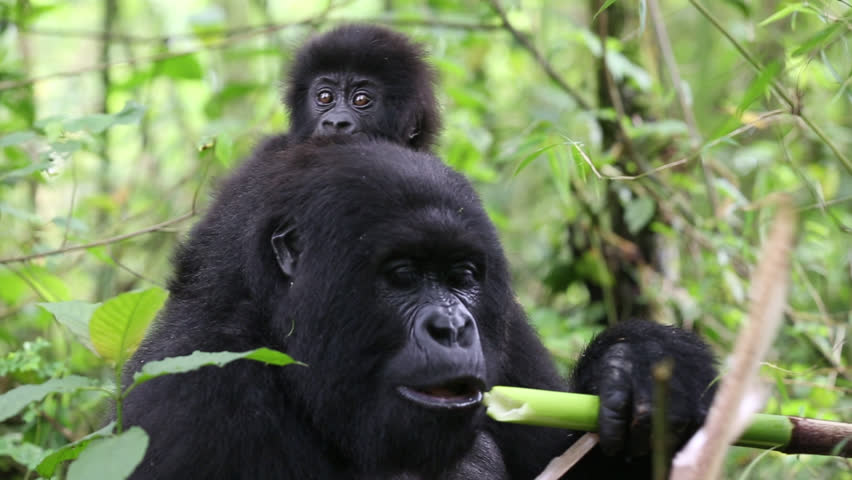 Mother wild mountain gorilla carrying baby on her back eating bamboo shoots