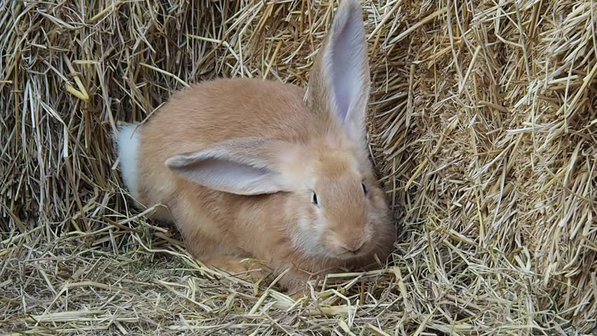Close up : Young Fawn Colored Giant Rabbit on Haystack Background | Shutterstock HD Video #25185593