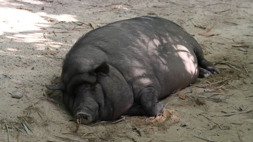 A Fat Pig of Black Stock Footage Video (100% Royalty-free) 25191977    Shutterstock