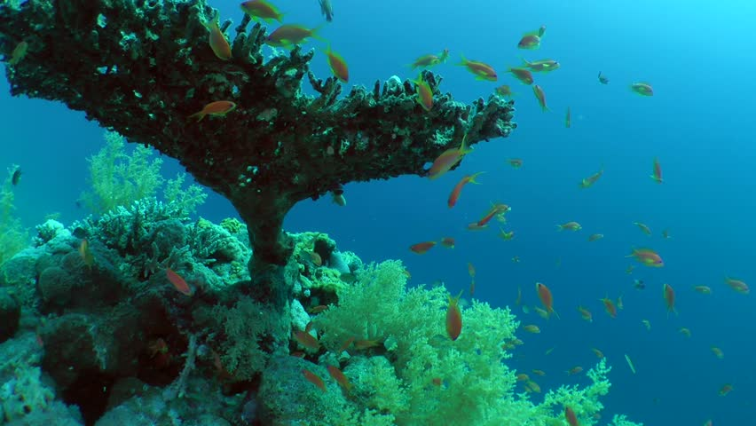 Header of Acropora pharaonis