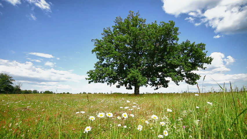1920x1080 hidef, hdv - Lone oak tree on a summer meadow