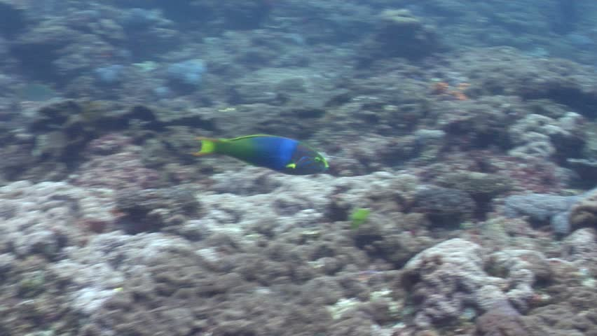 Sunset wrasse (Thalassoma lutescens) hunting underwater in Australia
