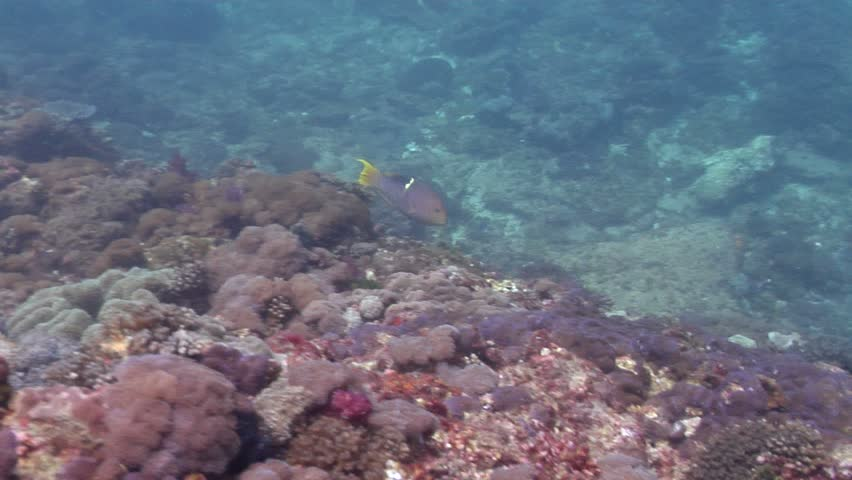 Golden-spot hogfish (Bodianus perditio) swimming underwater in Australia