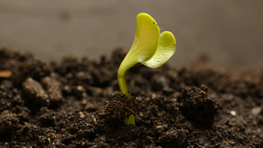 Germinating Seed Growing in Ground Agriculture Spring Summer Timelapse #25254071
