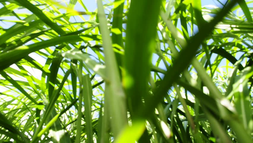 Switch grass | Shutterstock HD Video #2529311