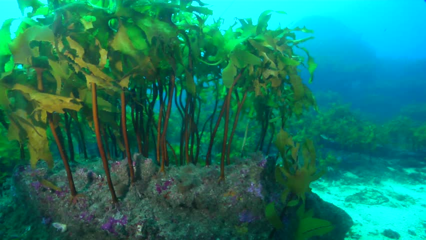 Kelp (Ecklonia radiata) swaying underwater in Australia