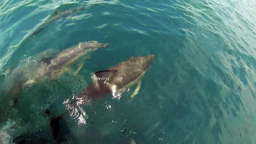 New Zealand dolphins playing in bow wave. GoPro footage of a pod of Common Dolphins swimming and playing and bumping each other, filmed in the Bay of Islands, New Zealand. Slow motion (half-speed). Royalty-Free Stock Footage #25351244