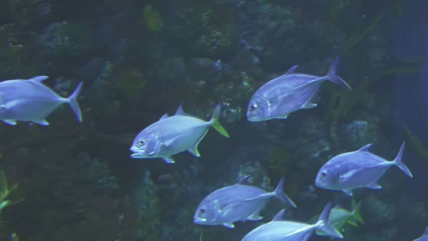 Thunnus in the saltwater aquarium stock footage video #25366514
