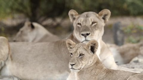 a pride of Lions resting form the daytime heat, Chobe National Park, Botswana