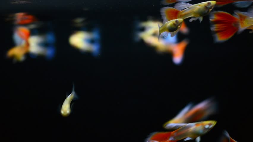 Guppy fish (Albino aqua marin red tail  or Albino blue topaz) swimming on black background with medium shot (macro lenses, soft focus)