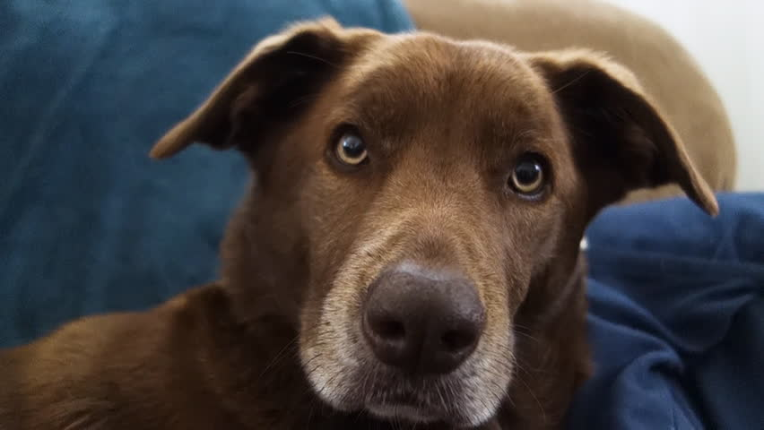 A cute brown household dog looks at the camera with his ears up in a curious manner.	 	 | Shutterstock HD Video #25589759