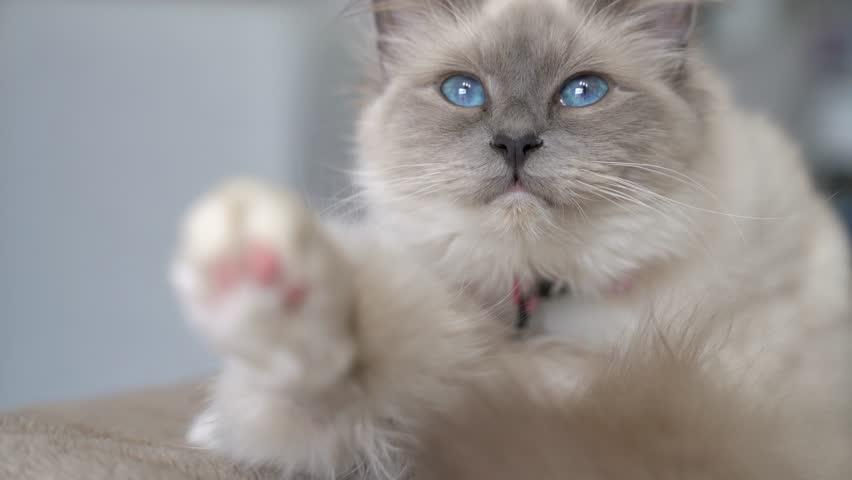 Closeup of white cat, sacred Birman  | Shutterstock HD Video #25609730