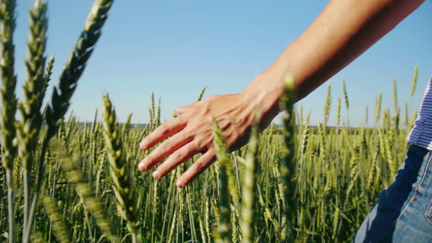 Male hand touching wheat in summer  field