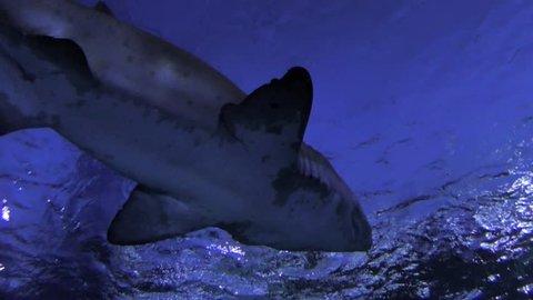 Aquarium underwater life - shark